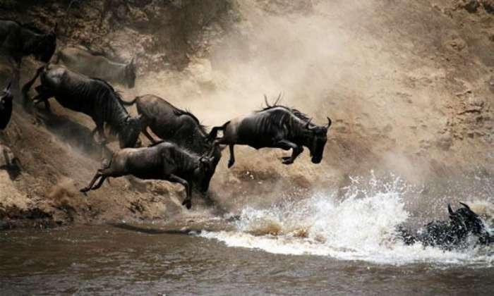 African Buffalo River Crossing at Masai Mara National Reserve