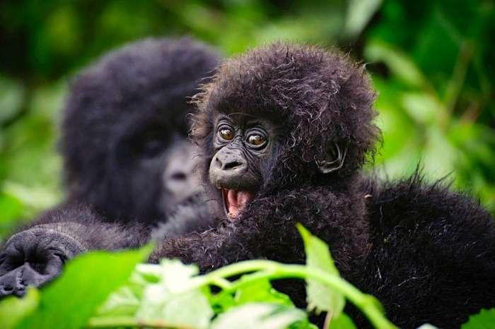 Gorilla Trekking in Uganda at Bwindi Forest National Park
