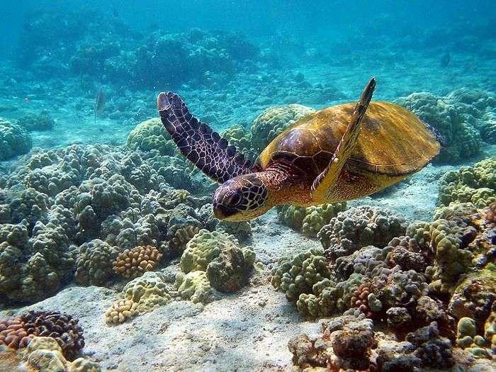 Turtles swimming over Coral reef at Mahatma Gandhi Marine National Park