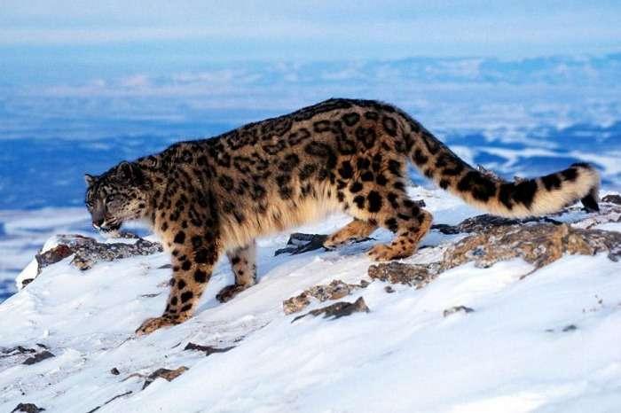 Snow leopard at Hemis National Park Jammu, Kashmir