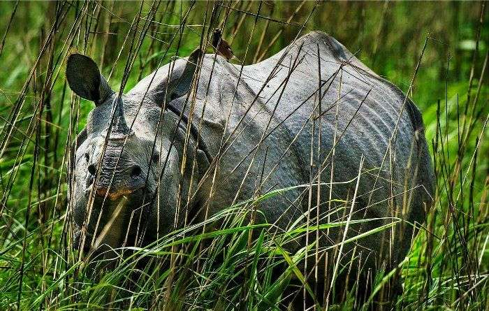 one horned rhino at kaziranga national park, Assam
