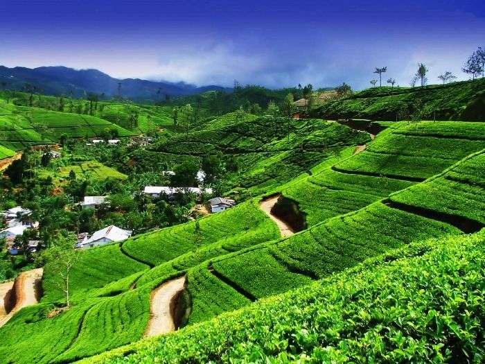 Ceylon tea plantation in Kandy, Sri Lanka