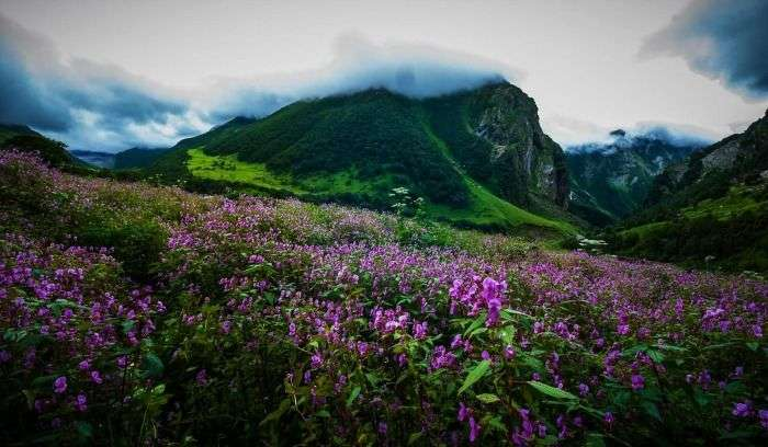 Pink rhododendron in Dzukou Valley in Kohima