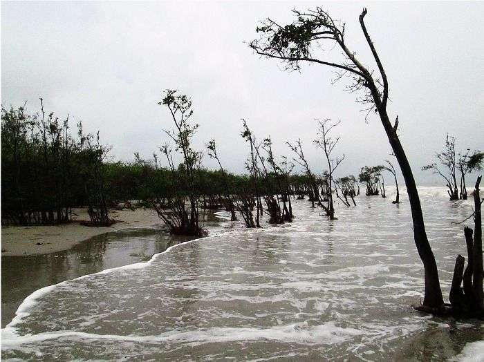 Mangrove forests on the beach