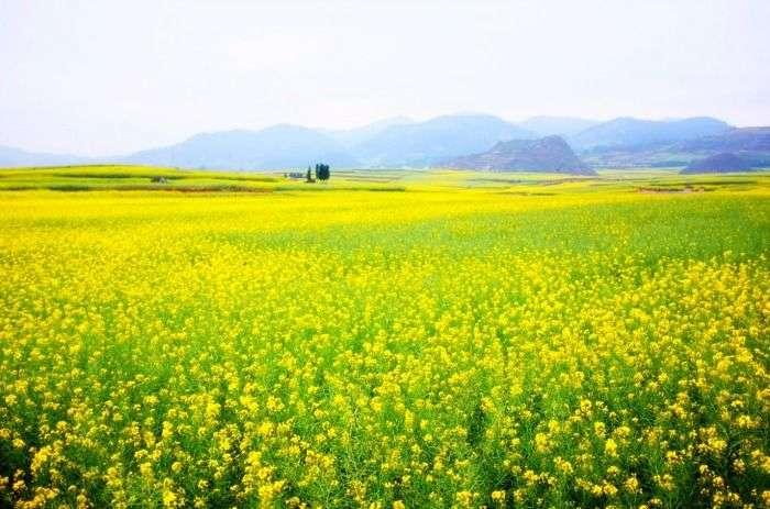 Lush widespread mustard fields in Punjab