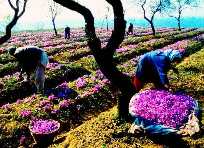 Saffron Fields in Pampore in Kashmir