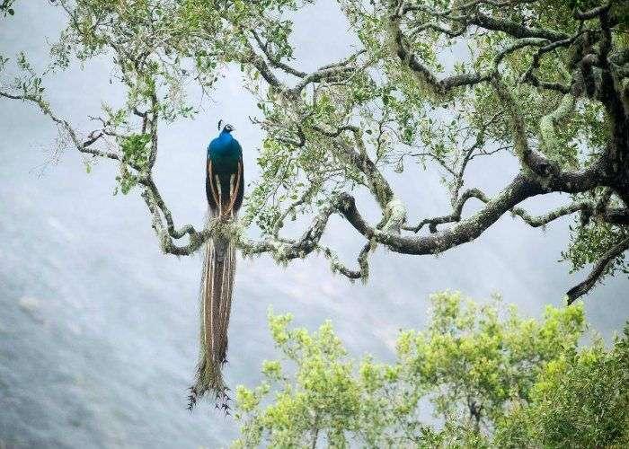 Srilanka-Peacock-Yala-National-Park