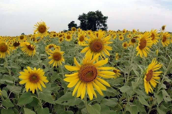 Lopburi sunflower fields