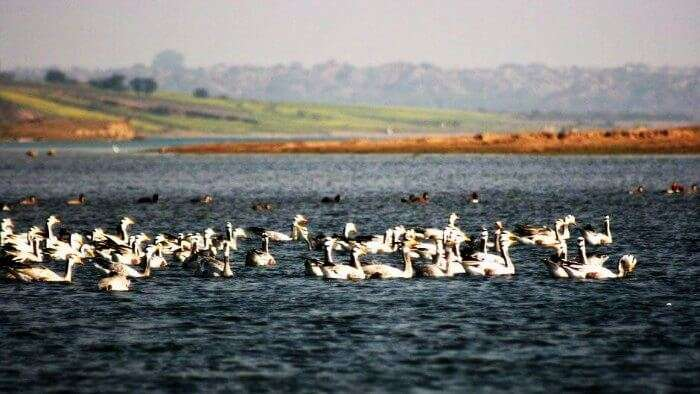 Swans in the Chambal river wildlife sanctuary