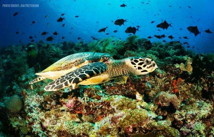 Sea turtle swimming in the colorful underwaters at the Bunaken Sea Park