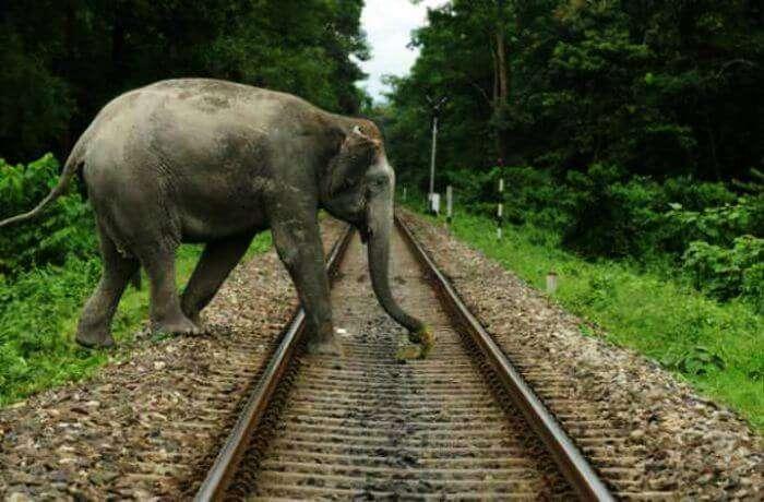 An elephant crossing the rail tracks