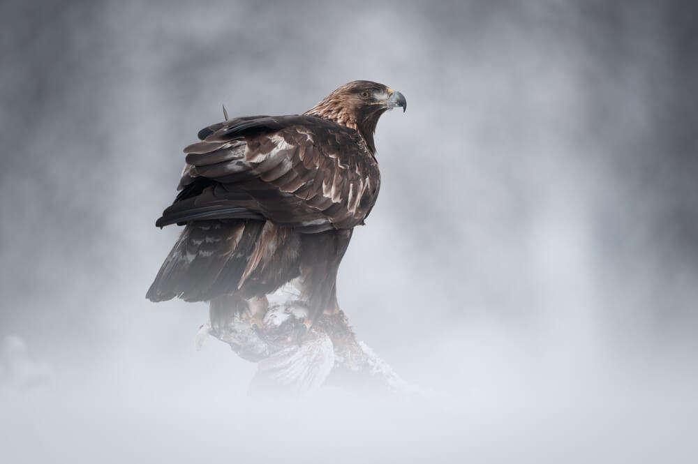 A Golden Eagle at the African Bird of Prey Sanctuary, Pietermaritzburg