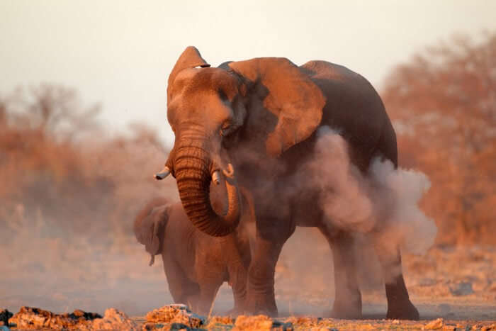 A large African elephant at Polokwane Game Reserve