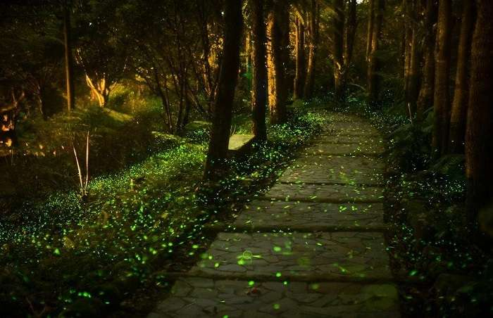 The beautiful fireflies in Pushkarwadi