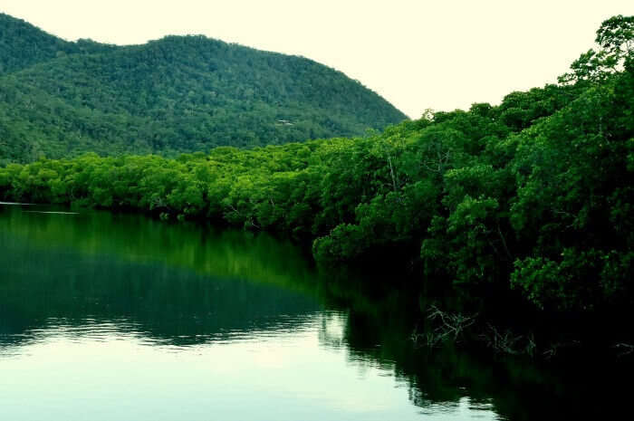 Searching for crocodiles in the lush green mangroves