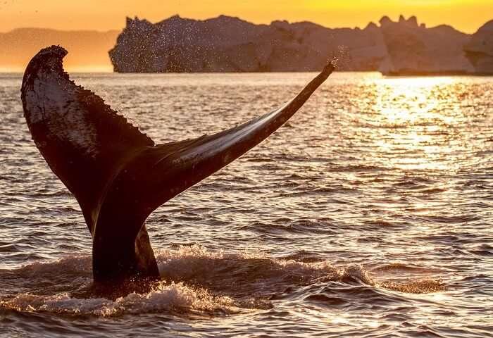 Tail of whale at Mirissa in Sri Lanka