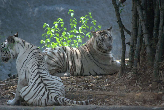 tigers in anna zoological park