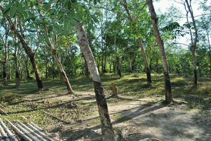 The rubber plantations in Wandoor