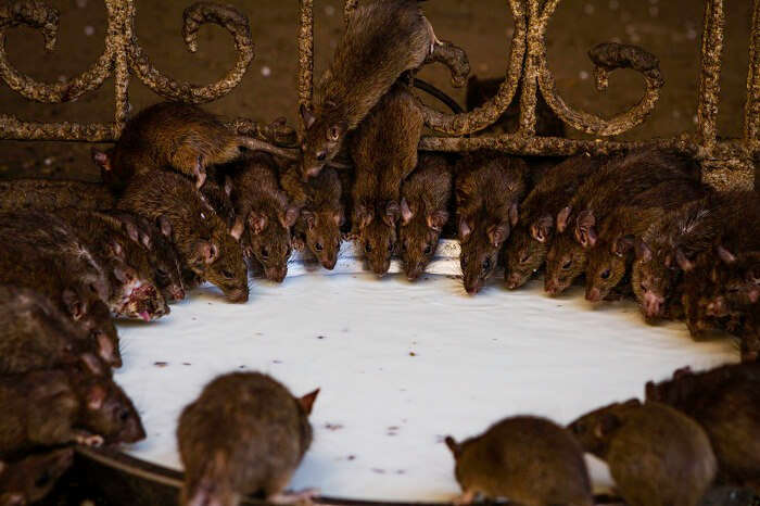 Rats drinking milk offered as prasad to them in the Karni Mata Temple
