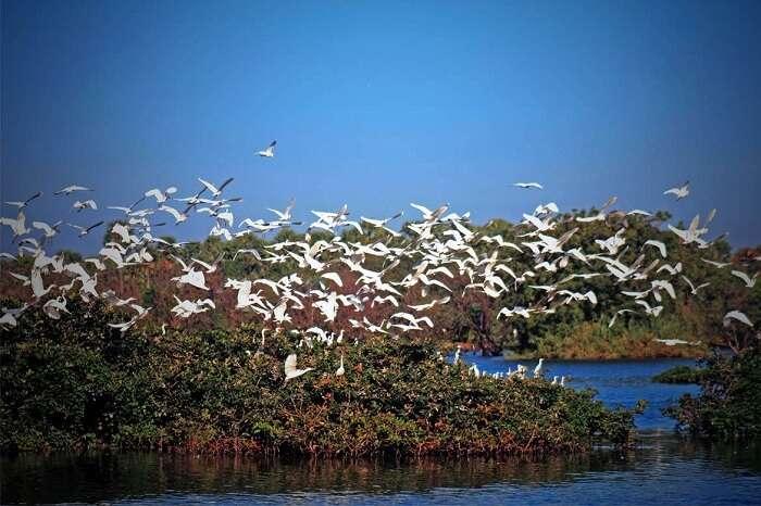 Birds flying over the Kumarakom Bird Sanctuary on the banks of the Vembanad Lake