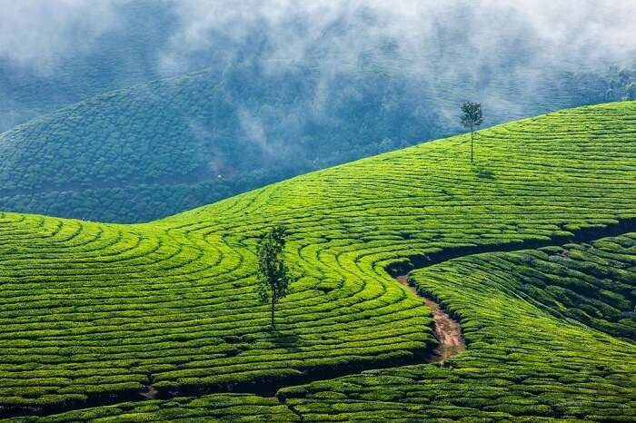 A snap of the vast tea plantations in Munnar
