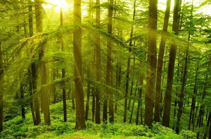 Pine trees in golden sunlight at Shimla during sunset