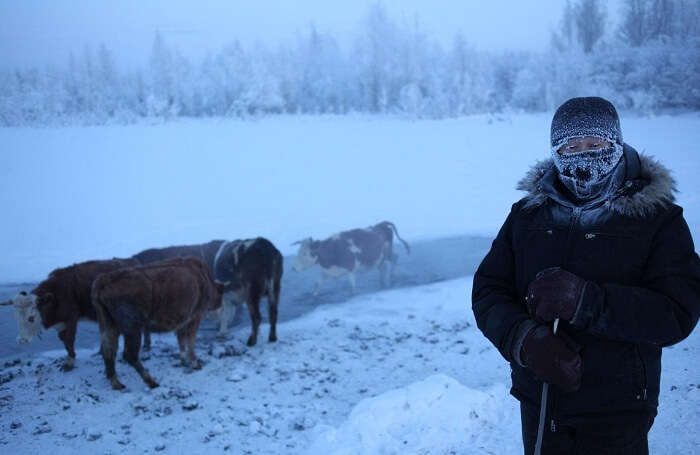 A cow-herder poses with his cows in Oymyakon in winters