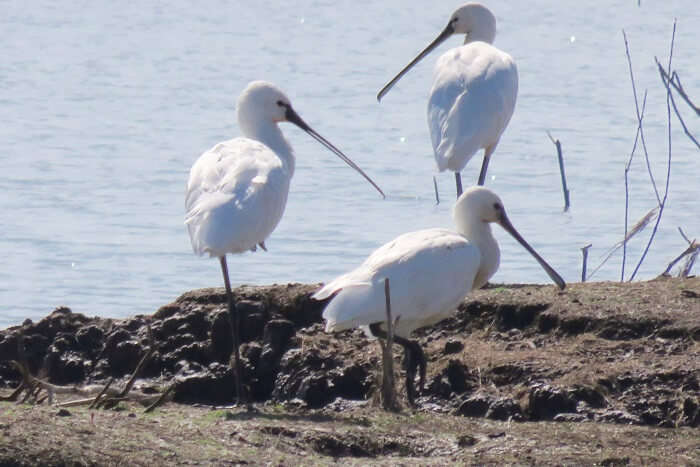 Three Eurasian spoonbills relaxing on the banks of the water body at the Mayani bird sanctuary