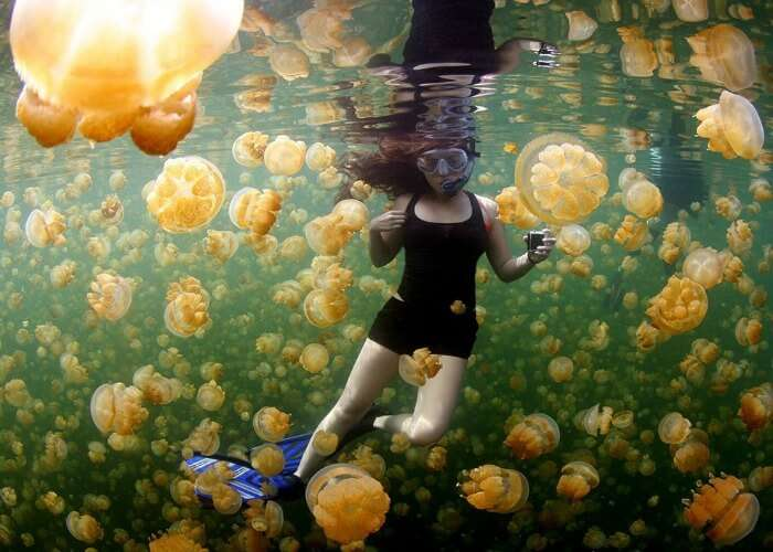 Swim with golden jellyfish swarms