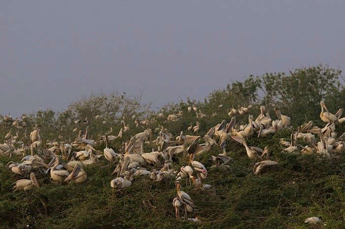Scores of pelicans sitting on the grassy lands of Uppalapadu Bird Sanctuary