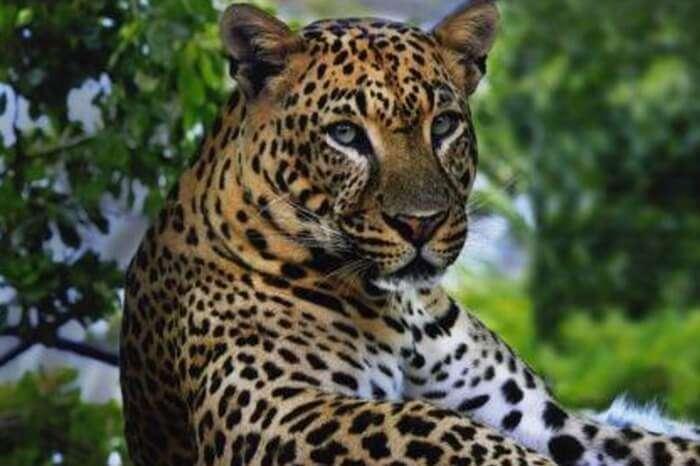 A leopard at Peechi-Vazhani Wildlife Sanctuary in Kerala