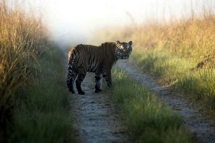 A tiger stares back in Periyar Tiger Reserve