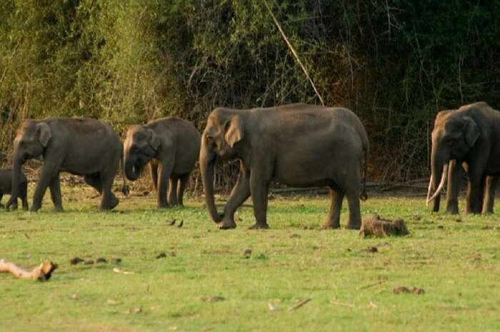 Elephants at Begur Wildlife Sanctuary in Kerala