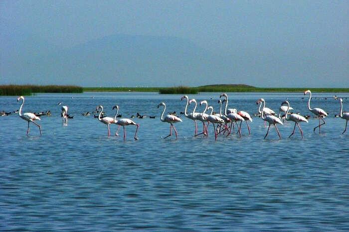 A long fleet of flamingos stand tall in the Chilika lake at the Chilika Lake Bird Sanctuary