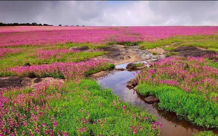 Colorful flowers in Kaas Plateau
