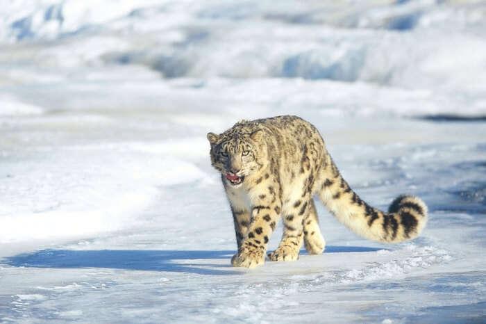 A snow leopard patrolling the Hemis National Park area