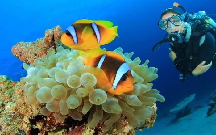 A scuba diver posing for photograph with clown fishes