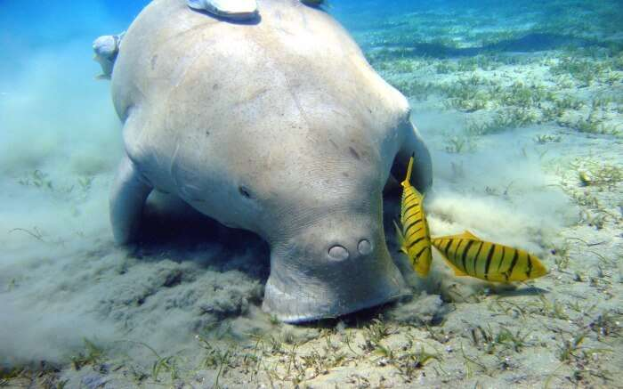 A dugong with fishes