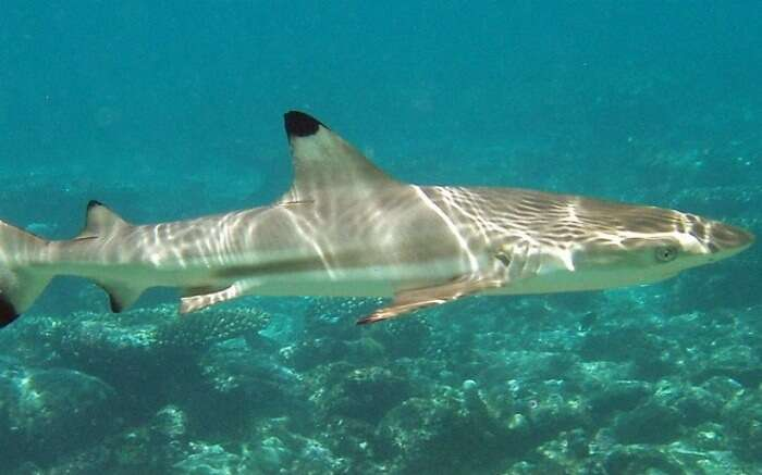 A picture of reef shark in her natural environs