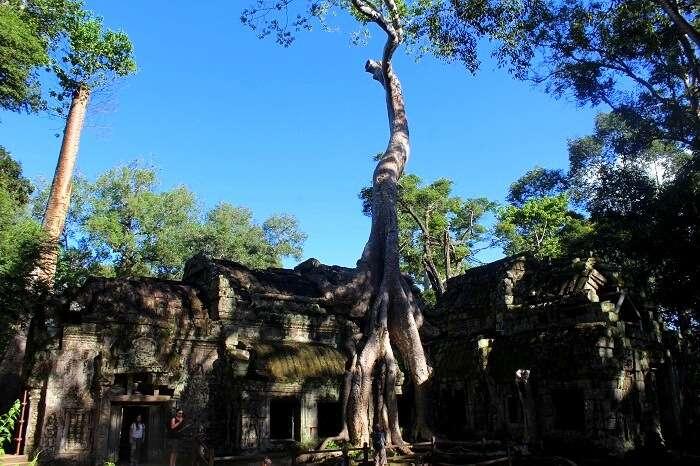 Nature in Ta Phrom Temple