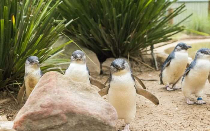 Blue penguins spotted in Phillip Island