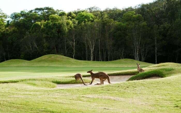 Kangaroos playing around in a golf course