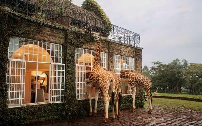 Rothschild Giraffes in Giraffe ManorRothschild Giraffes in Giraffe Manor