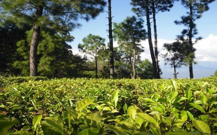 Tea Estate in Kausani