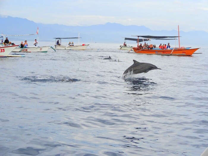 Dolphins in the ocean Bali