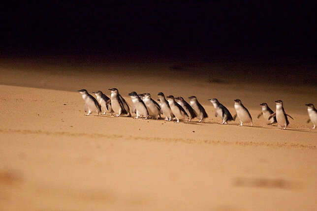 watch Penguin Parade At The Phillip Island