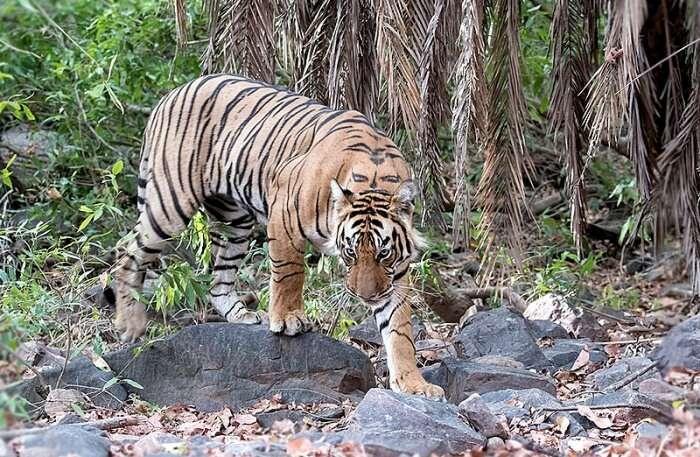 Tiger View
