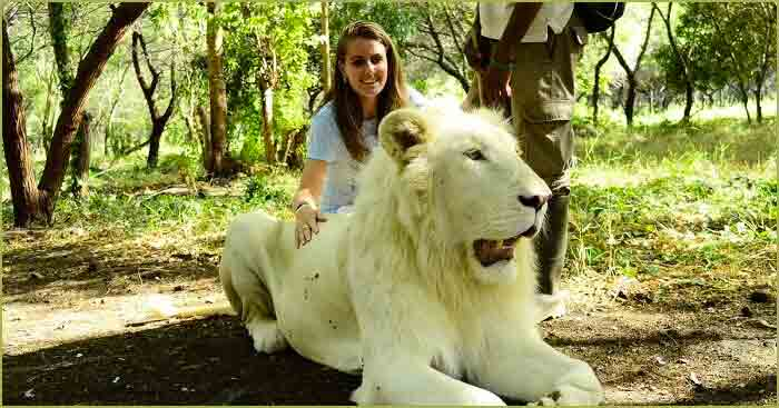 A girl posing with a majestic white lion in casela nature park in Mauritius