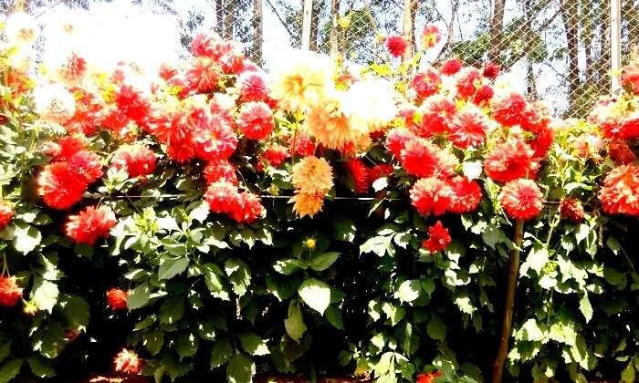 Flower plantations in Kerala