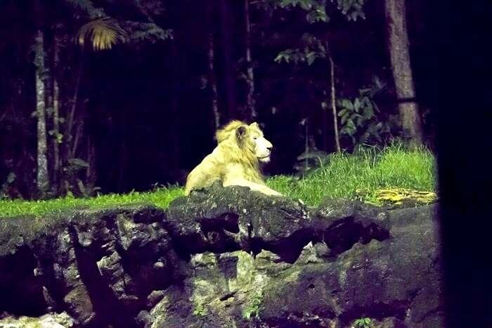 tigers in night safari